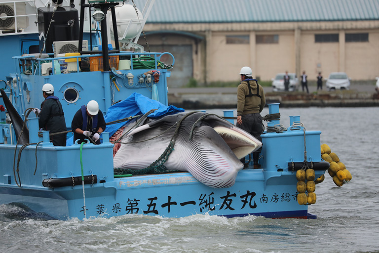 Japan resumes commercial whale hunting