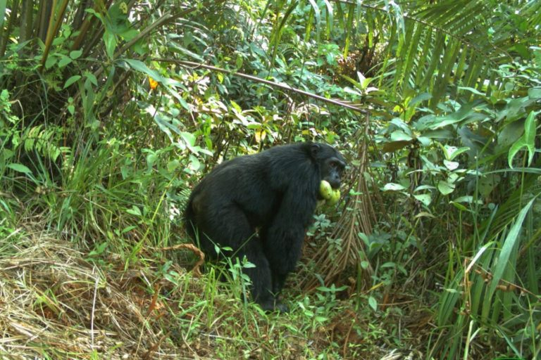 Camera trap photo of a chimpanzee with mangoes.