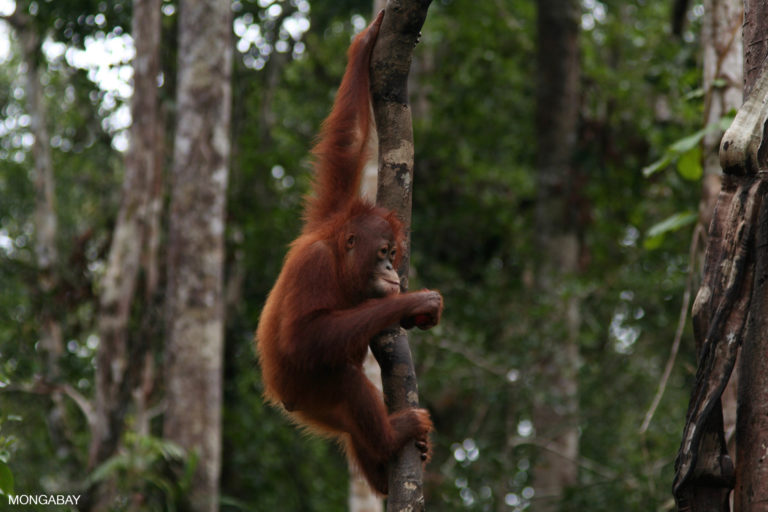 Orangutan in Tanjung Puting National Park. Parts of the park in Seruyan were allocated for oil palm plantations. Photo by Rhett A. Butler.