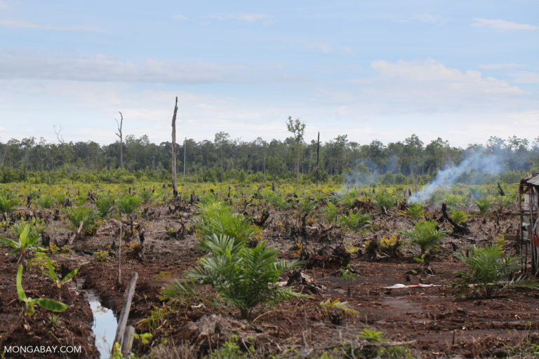 Newly established oil palm plantation in Central Kalimantan. Photo by Rhett A. Butler.