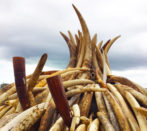 Tusks ready for destruction in Kenya. Photo: Roz Reeve