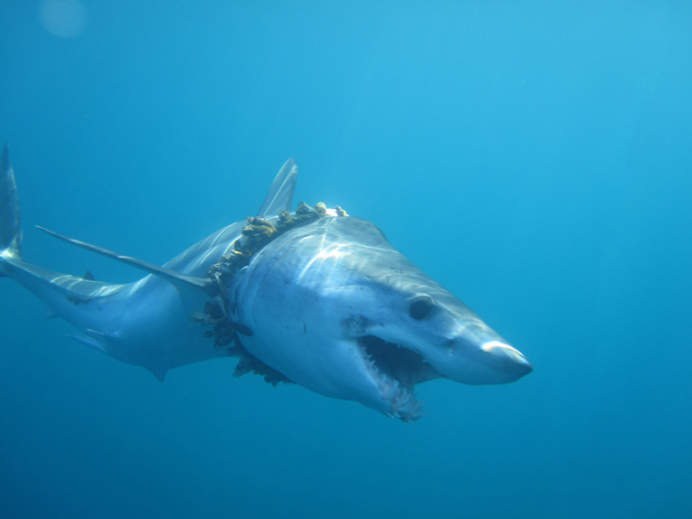 Thousands of sharks and rays are likely entangled in plastic