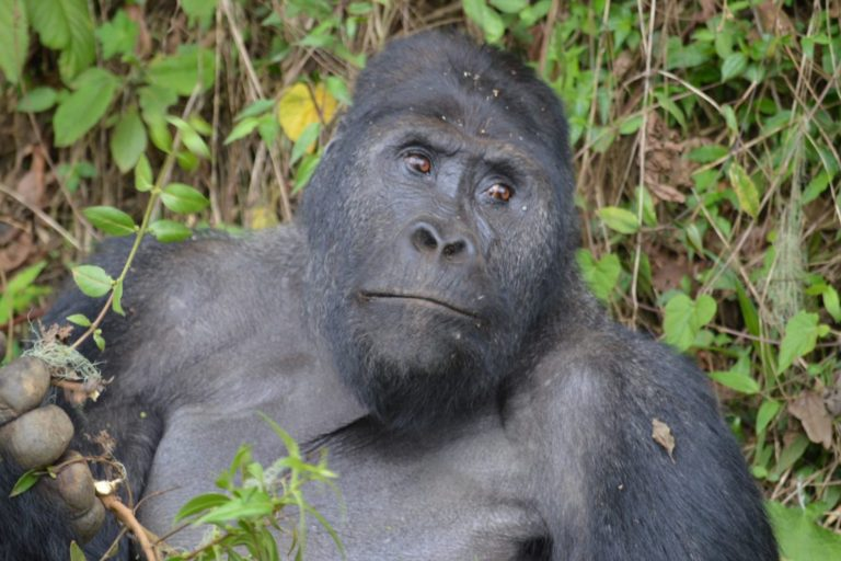 Agriculture mining hunting push critically endangered gorillas to the brink