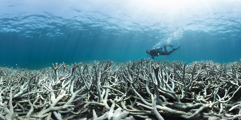 A diver swims over bleached coral at Heron Island, Australia, in 2016. When ocean temperatures rise, corals under stress expel algae, causing them to turn bone white and suffer increased vulnerability to collapse if the stress is prolonged. Image courtesy of The Ocean Agency / XL Catlin Seaview Survey / Richard Vevers via Flickr (CC BY 2.0).