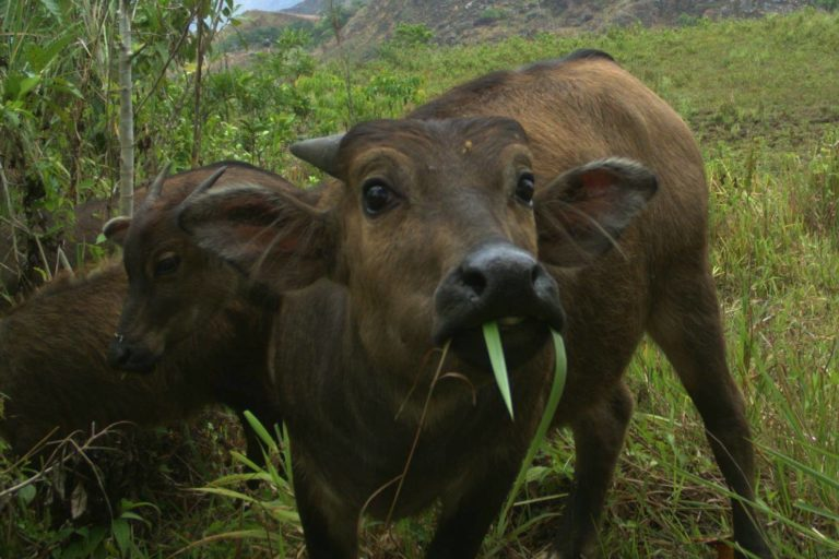 The ambitious plan to recover and rewild the feisty dwarf cow