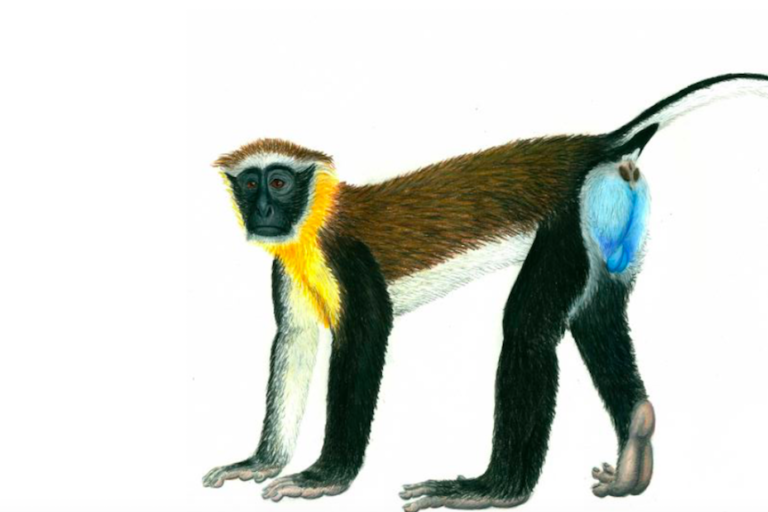 Secretive and colorful dryas monkey isn't as rare as once thought