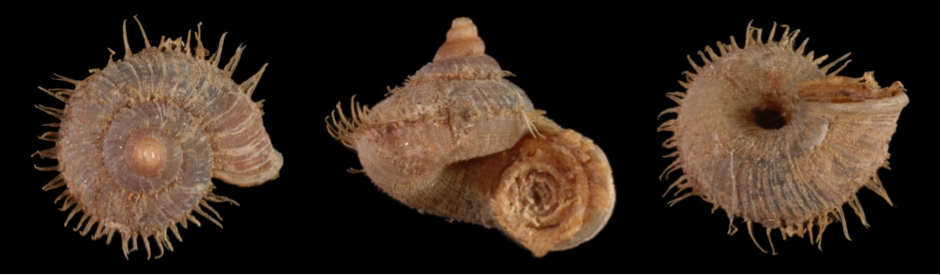 One of the endemic snails only found on Woodlark Island. Image by John Slapcinsky.