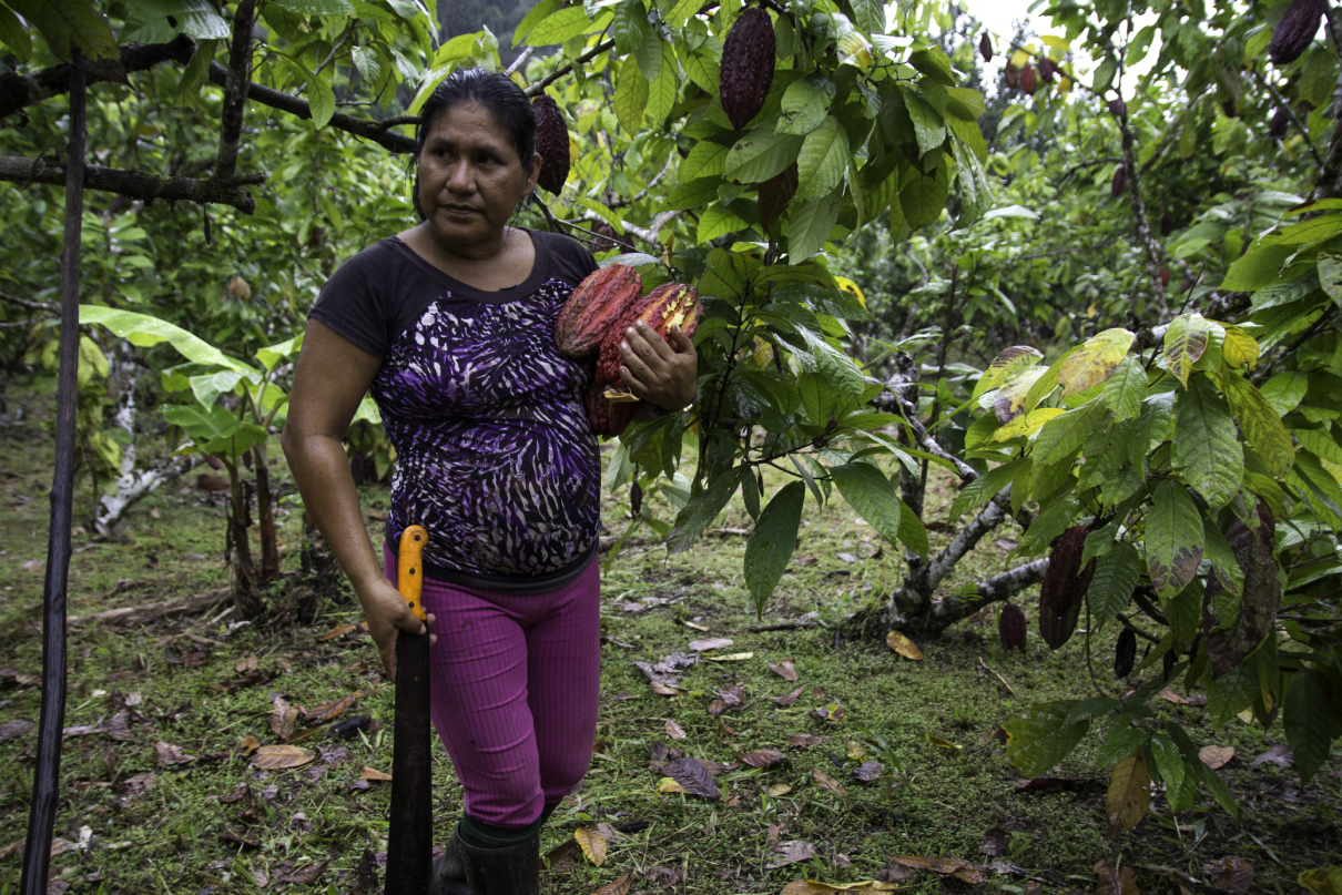 Alexandra Aviles picking up cocoa pods in her garden in the community of Llanchama.  Photo by Kimberley Brown for Mongabay.