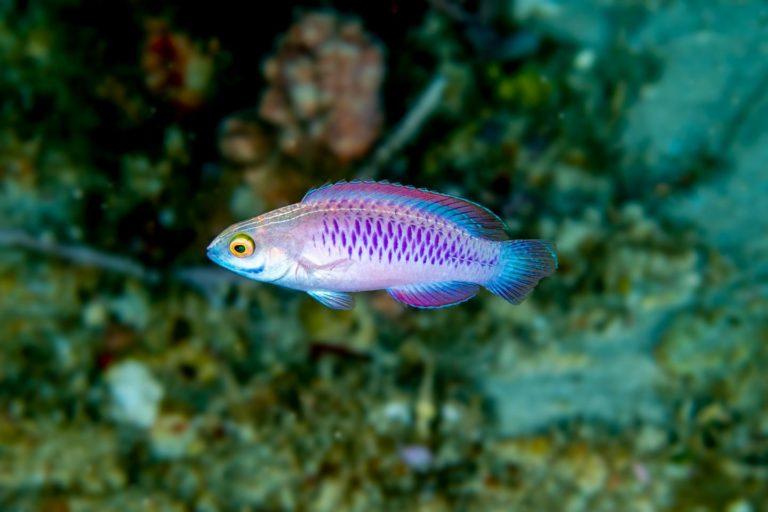 Female Cirrhilabrus wakanda.