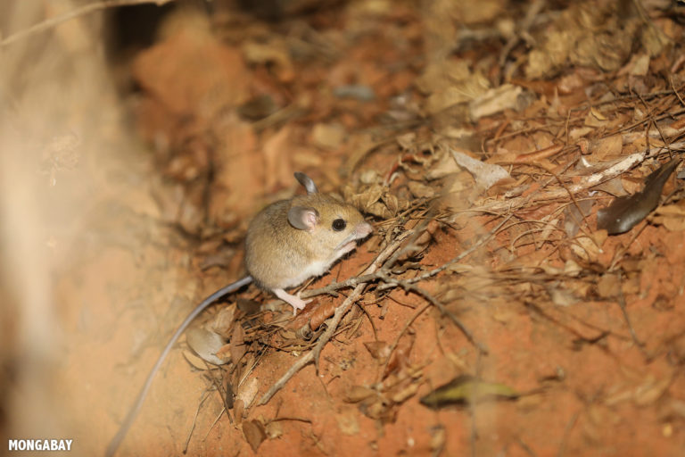 Western big-footed mouse in Kirindy Forest. Photo by Rhett A. Butler / Mongabay.