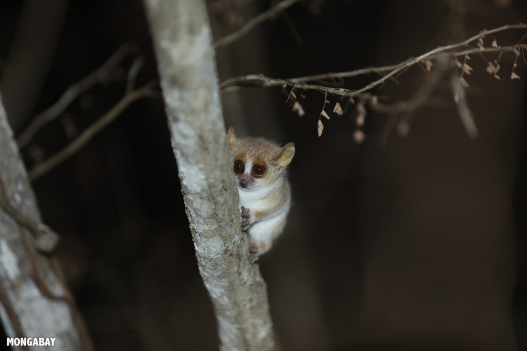 Mouse lemur in Kirindy Forest. Photo by Rhett A. Butler / Mongabay.