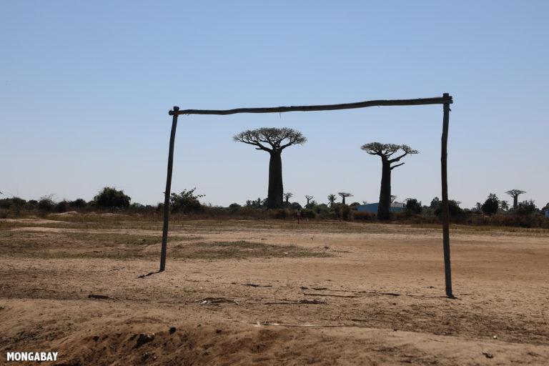 Baobabs outside Morondava. Photo by Rhett A. Butler / Mongabay.