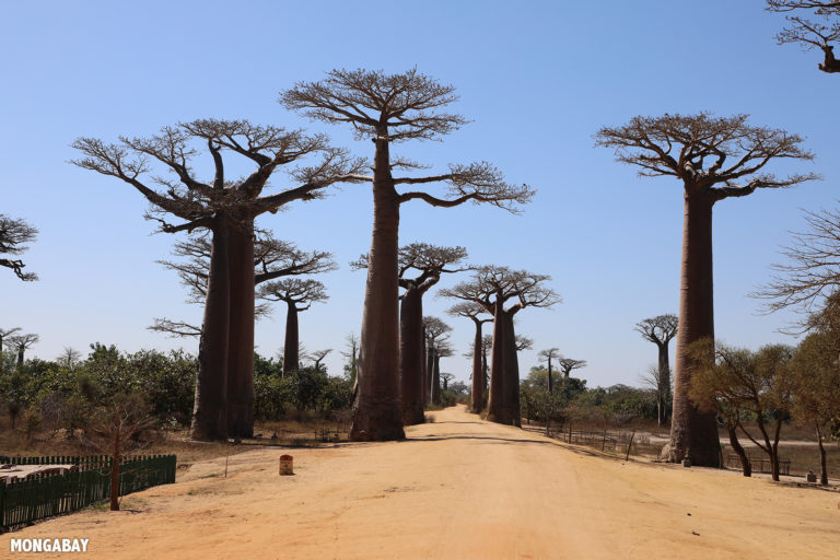 Baobab Alley outside Morondava. Photo by Rhett A. Butler / Mongabay.