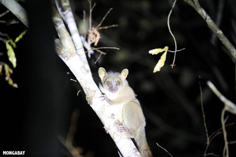 Coquerel's Giant Mouse Lemur (Mirza coquereli) in Kirindy Forest. Photo by Rhett A. Butler / Mongabay.