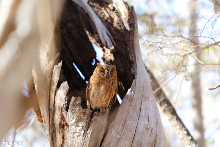 Scops owl in Kirindy Forest. Photo by Rhett A. Butler / Mongabay.