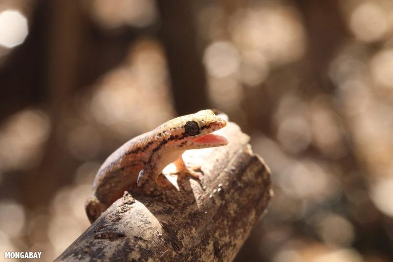 Fish-scale gecko in Kirindy Forest. Photo by Rhett A. Butler / Mongabay.