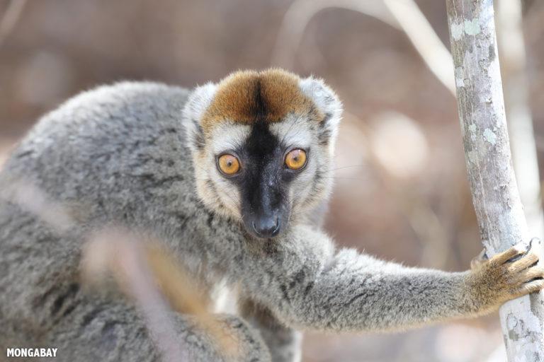 Red-fronted brown lemur in Kirindy Forest. Photo by Rhett A. Butler / Mongabay.