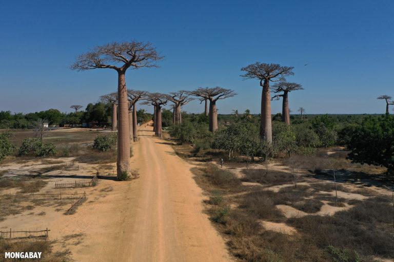 Baobab Alley outside Morondava. Photo by Rhett A. Butler / Mongabay.