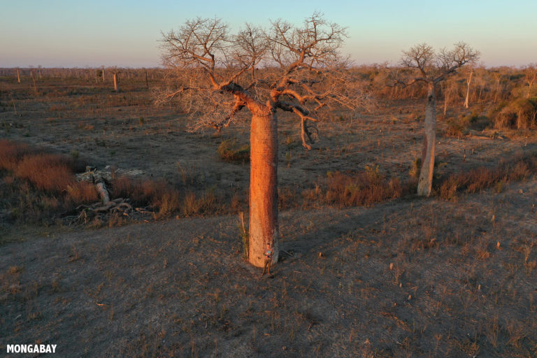 Rhett Butler standing at the base of a baobab while flying a drone. Photo by Rhett A. Butler / Mongabay.