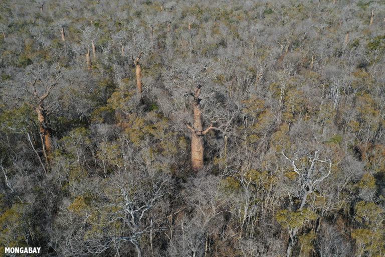 Baobabs in Kirindy dry forest. Photo by Rhett A. Butler / Mongabay.