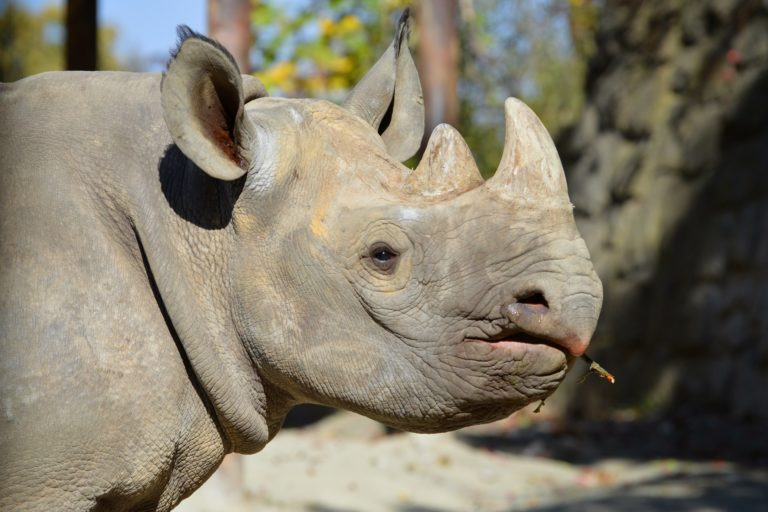 Jasiri, an eastern black rhino captive bred in Dvur Kralove in the Czech Republic. Photo: Dvur Kralove