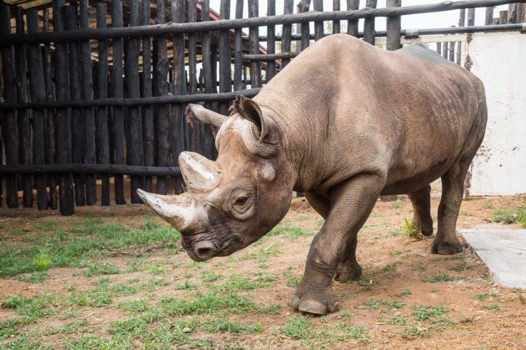 Rhino in release boma.