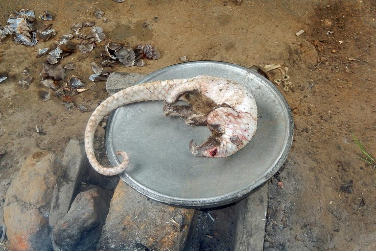 A pangolin prepared for cooking in Cameroon. Photo: Eric Freyssinge