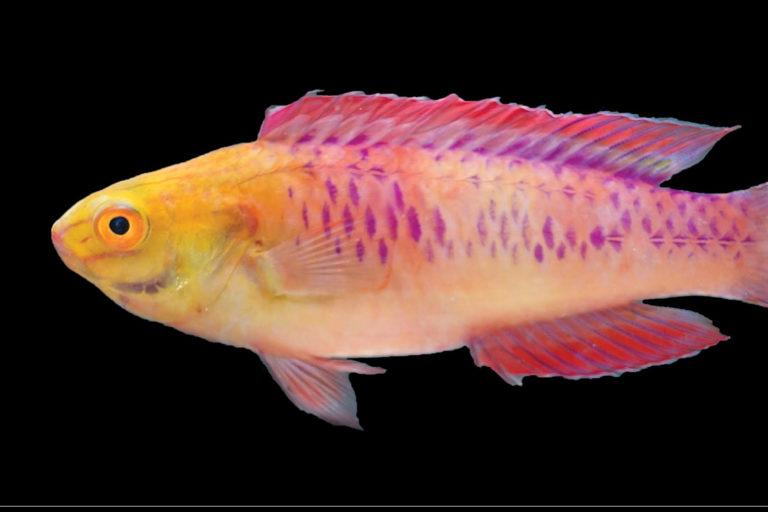 Cirrhilabrus wakanda sp. nov., freshly euthanized male