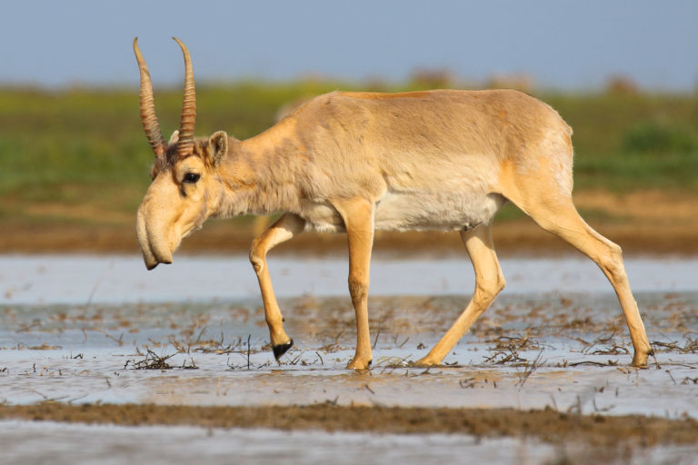 Wild male saiga antelope (Saiga tatarica) visiting a waterhole at the Stepnoi Sanctuary, Astrakhan Oblast, Russia. Photo credit: Andrey Giljov [CC BY-SA 4.0]