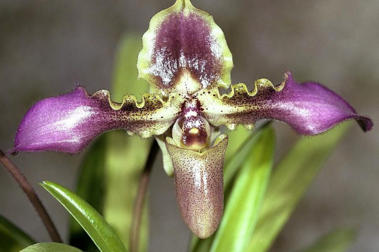 South China's plant markets sell wild-sourced slipper orchids like Paphiopedilum hirsutissimum. Image by Orchi via Wikimedia Commons (CC BY-SA 3.0).