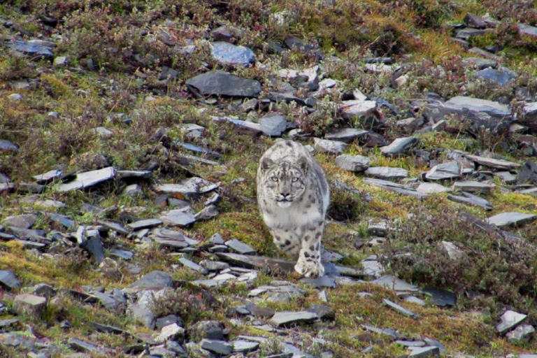 Snow leopard population overestimated in Nepal? DNA study suggests it may be