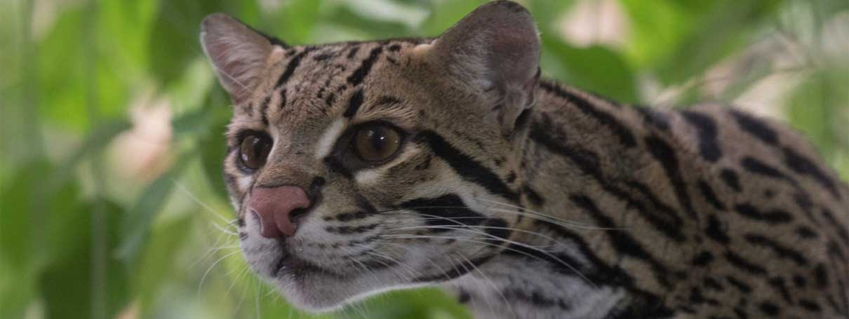 Camera trap study reveals Amazon ocelot's survival strategies