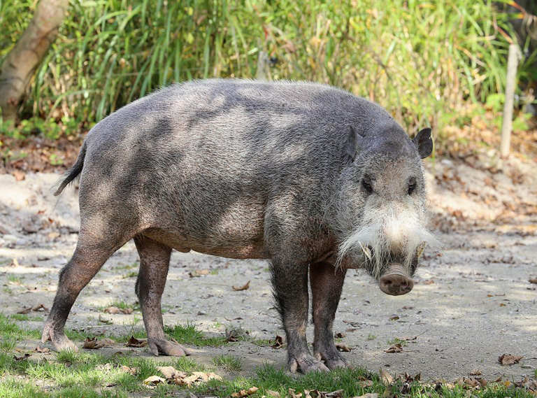 Bearded pigs historically migrate to take advantage of mast fruiting.