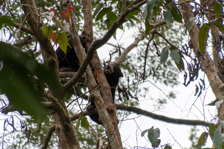 Sun bears follow the mast fruiting of dipterocarp trees on the island of Borneo. Image by John C. Cannon/Mongabay.
