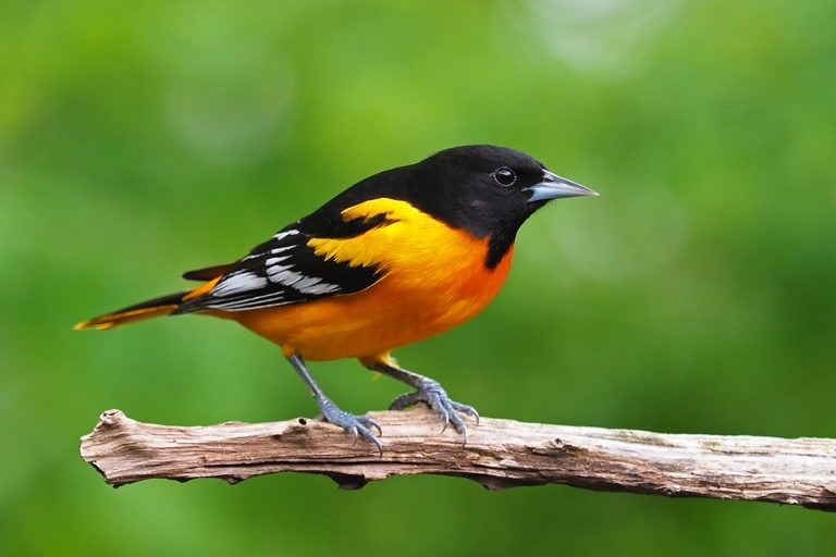 'Full-blown crisis': North America has lost nearly 3 billion birds since