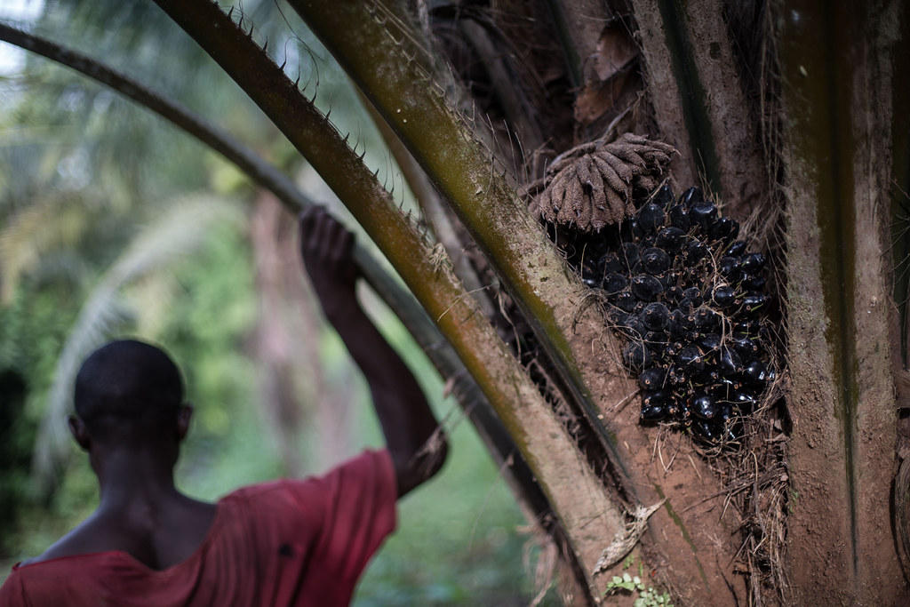 Silhouette of man standing by oil palm tree on a plantation still belonging to local residents in Malen Chiefdom in Pujehun district of Sierra Leone, West Africa.