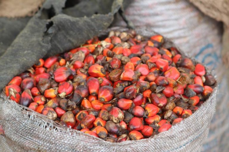 Oil palm kernels
