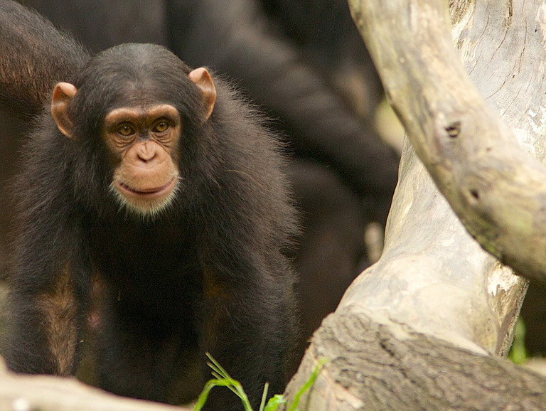 Chimpanzees build their nests closer to the ground in logged forests, the study found. Image by via Wikimedia Commons (CC BY 2.0).