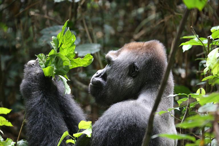 A western lowland gorilla forages. Image by Ivonne Kienast/WCS.