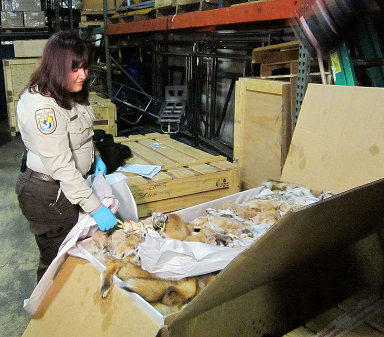 Inspection of a legal shipment of animal pelts. Image courtesy of U. S. Fish and Wildlife Service - Northeast Region via Wikimedia Commons (Public domain).