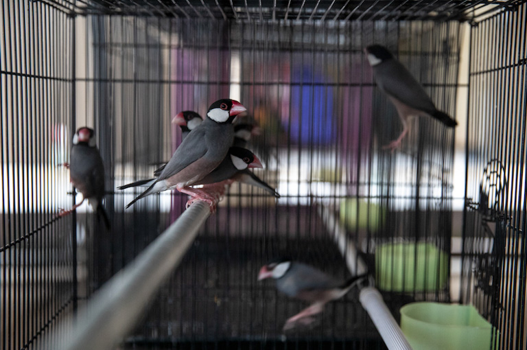 Java sparrows for sale at a bird market in Purwokerto, Java, Indonesia. Image by Gabby Salazar.