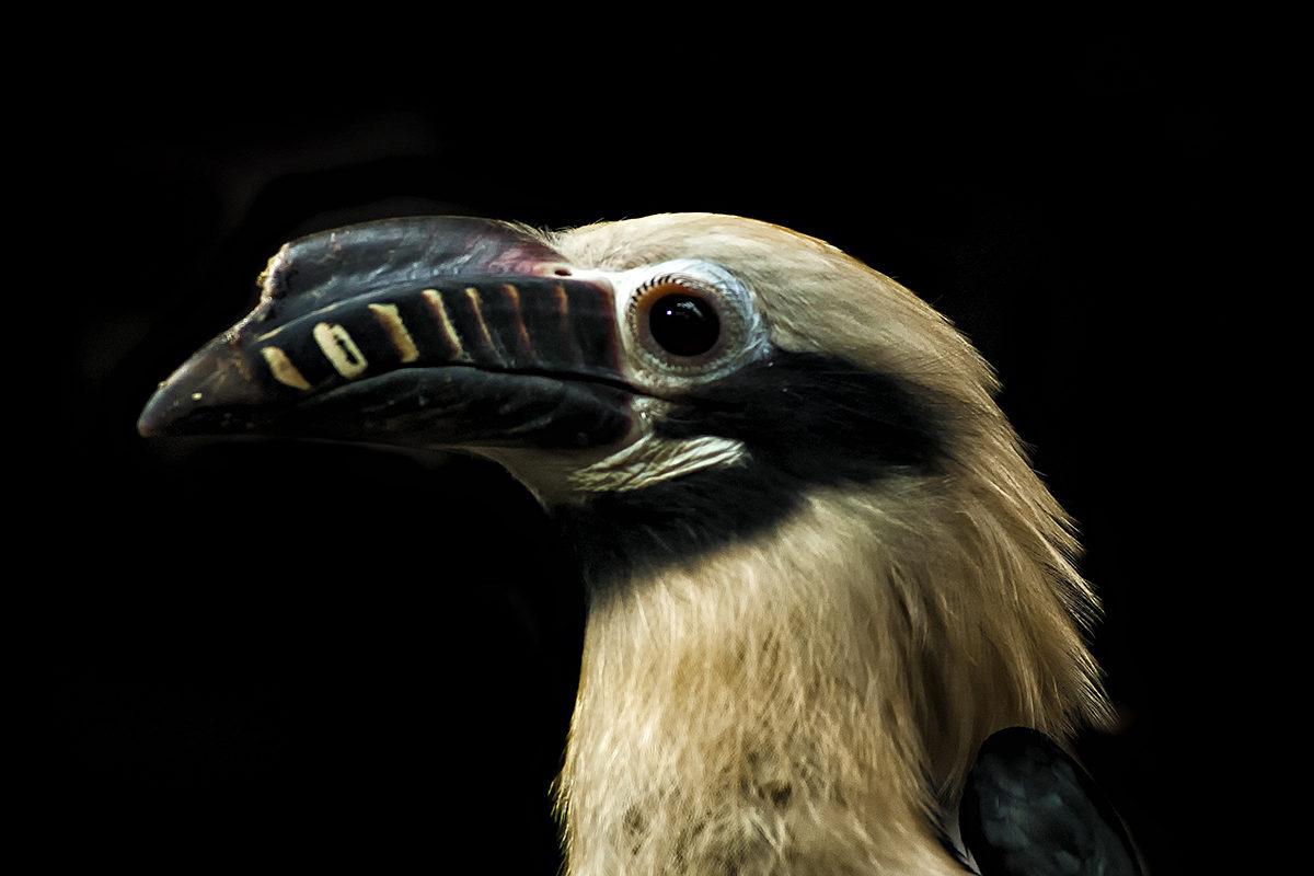 Philippines races to save its increasingly endangered hornbills