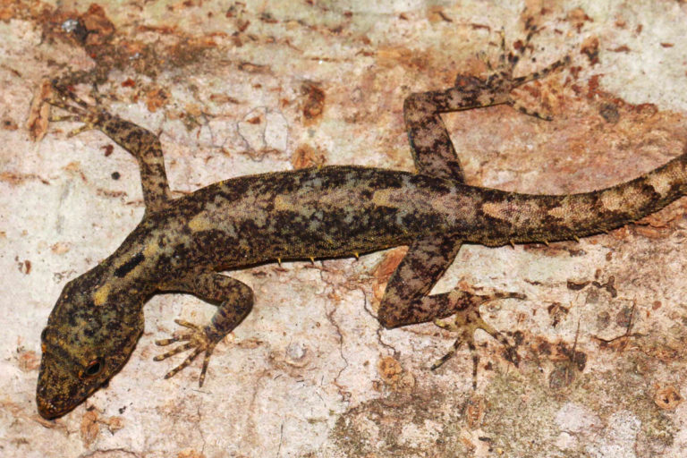 Photos: Meet the surprisingly diverse day geckos of Sri Lanka