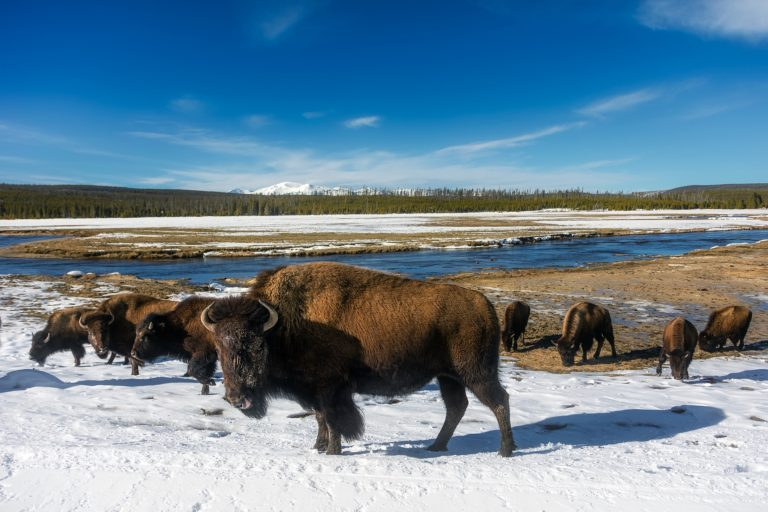 Bison in Yellowstone Nation Park. Photo by David Mark.