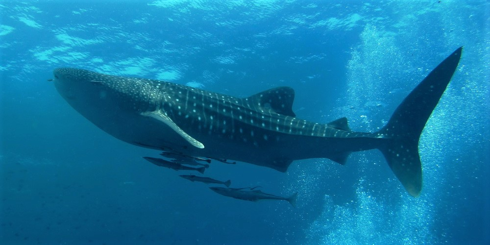 Education, compensation, and spiritual outreach protect threatened whale sharks