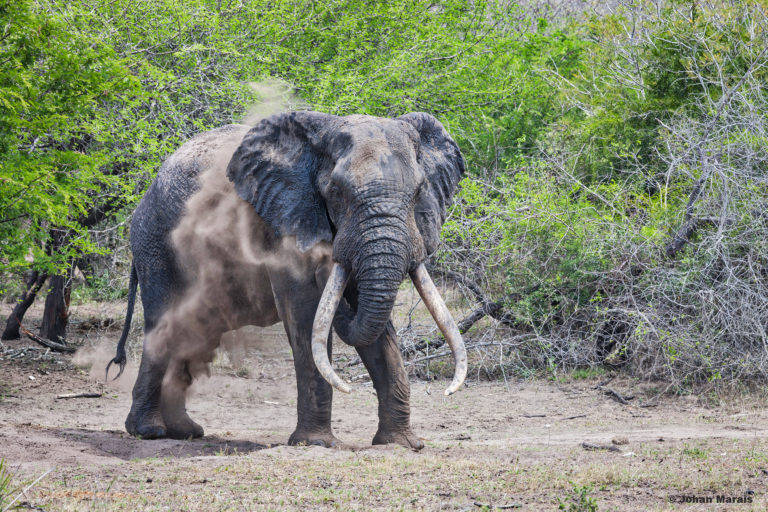 Big tusker in Tembe Elephant Park. Photo courtesy Derek Whalley