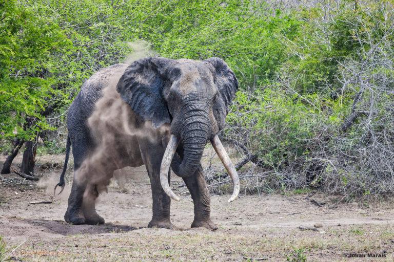Big tusker in Tembe Elephant Park. Photo courtesy Derek Whalley