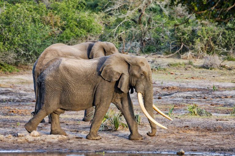 Big Tusker, Tembe Elephant Park. Photo courtesy Monica Klopper