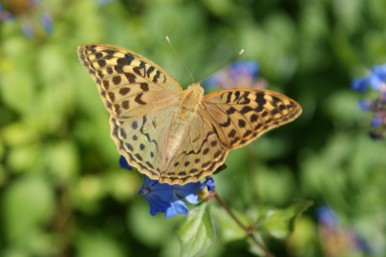 Pictured is an Argynnis paphia female on vegetation. Image by Julia M Schmack/University of Auckland.