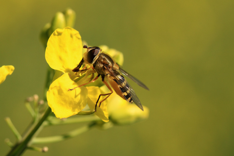 A hoverfly pollinating an oilseed rape flower. Image by Matthias Tschumi/Agroscope.